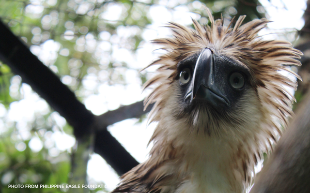 Philippine-eagle-foundation-Sakura_CNNPH