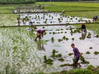 The Kilusang Magbubukid ng Pilipinas (KMP) today lambasted the Senate of the Philippines' approval on third and final reading of the rice tariffication bill or Senate Bill 1998 that would impose tariffication on 35 to 50% tariff on rice imports in lieu of quantitative restrictions.